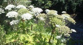 La Berce du Caucase: une plante invasive et toxique